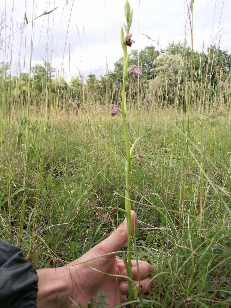 Ophrys elatior ( Ophrys élevé ) Pict0017