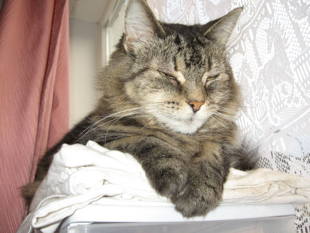 Hyperthyroïdie chez le chat Img_0710
