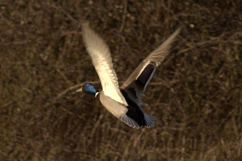 Duck Img_4712