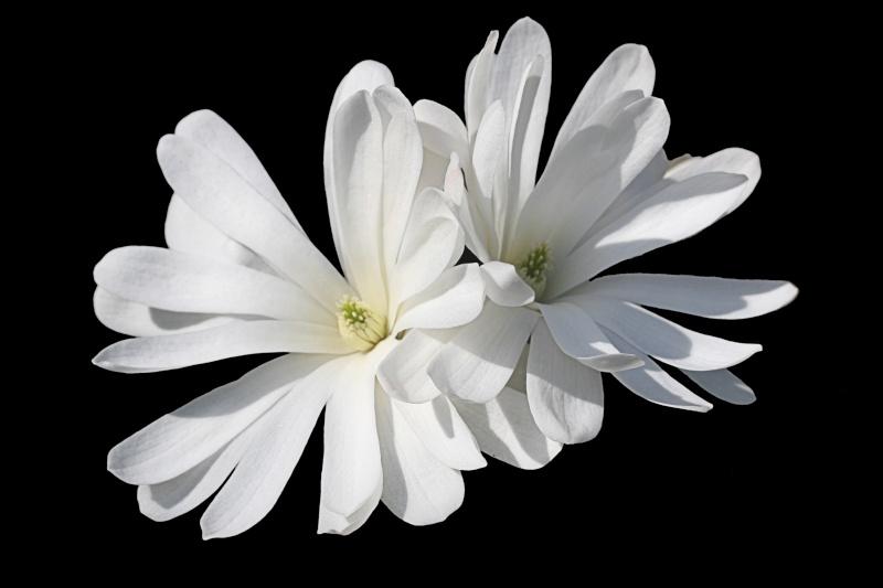 Magnolia Img_4912