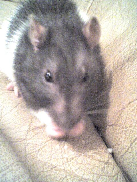 Mes rats Image112