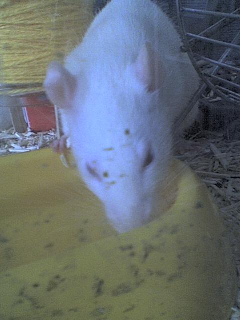 Mes rats Image210