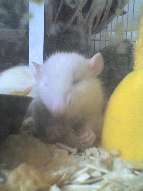 Mes rats Image212