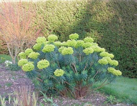 Euphorbia characias ssp. wulfenii Dscn0410