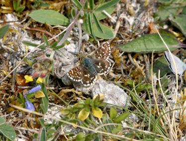 Papillon Img_3712