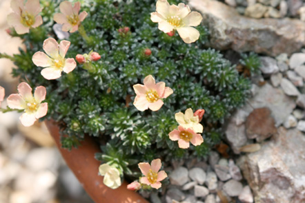 Saxifrages S_bohe10