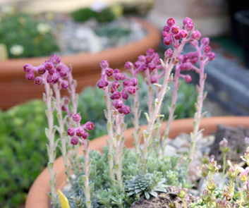 Saxifrages S_crys10