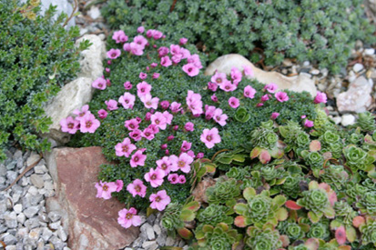 Saxifrages S_rube15
