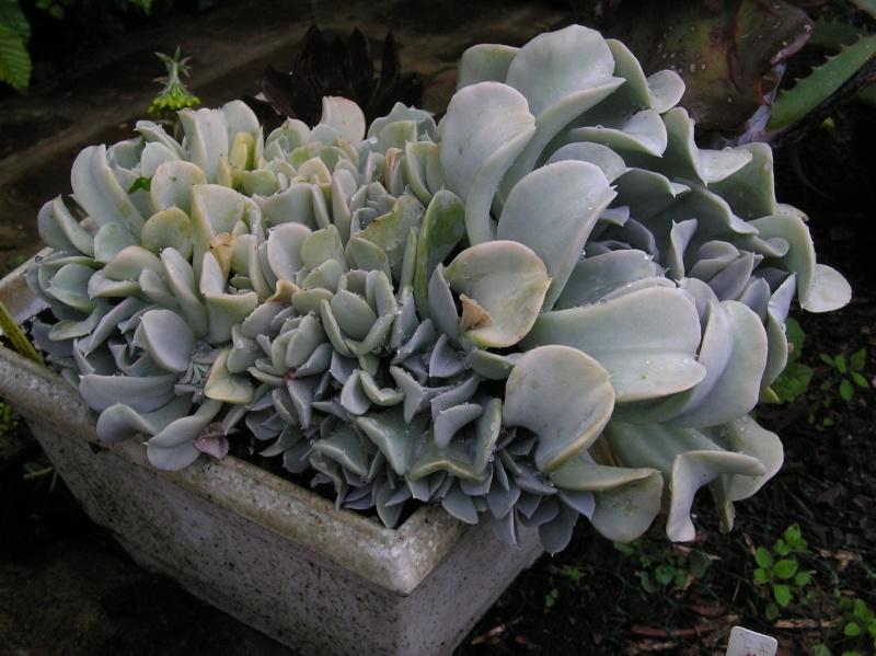 Curieux Echeveria P1010110