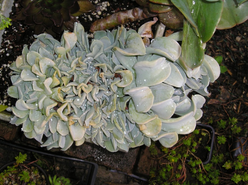 Curieux Echeveria P1010111