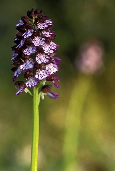 Orchis purpurea ( Orchis pourpre ) Opurpu13