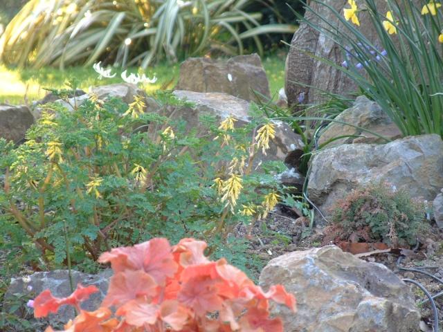 Corydalis heterocarpa Coryda11