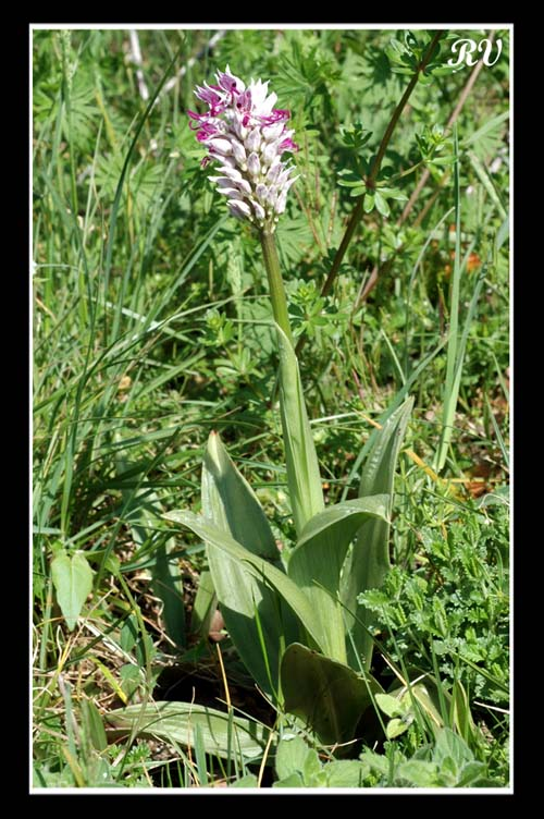 orchis simia ( Orchis singe ) Ain_0411