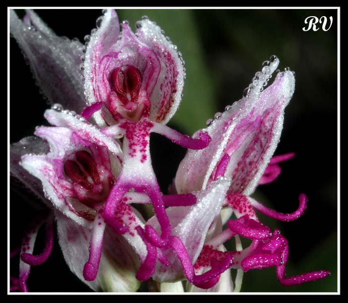 orchis simia ( Orchis singe ) Ain_0412