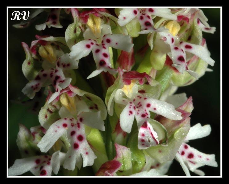 Neotinea ustulata ( Orchis brûlé ) Ain_0422