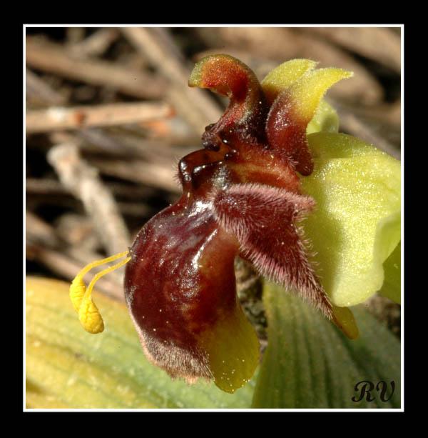 Ophrys bombyliflora ( Ophrys bombyx ) Dsc_1411