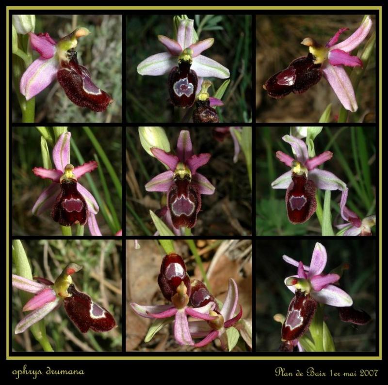 Ophrys drumana Rdrome11