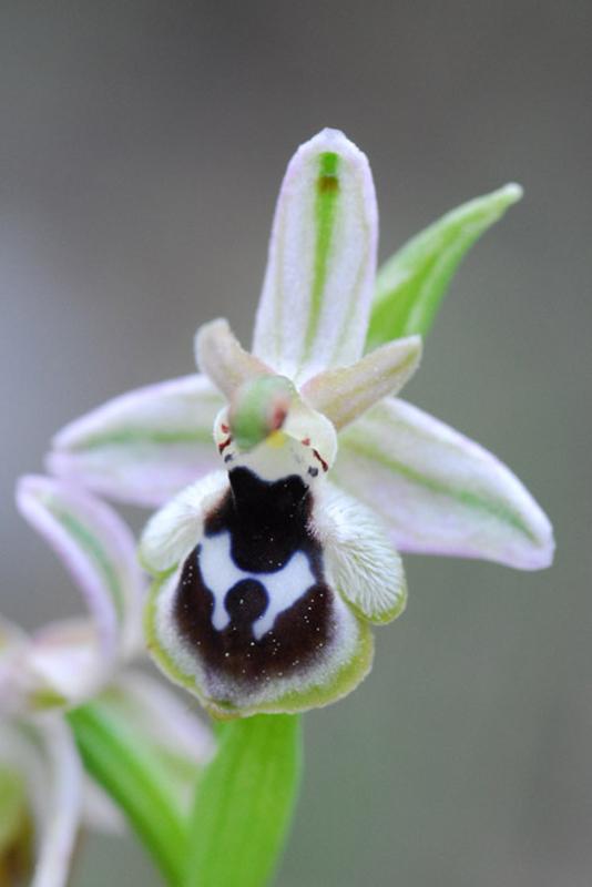 [Grèce] Ophrys de Rhodes Jlr_0410