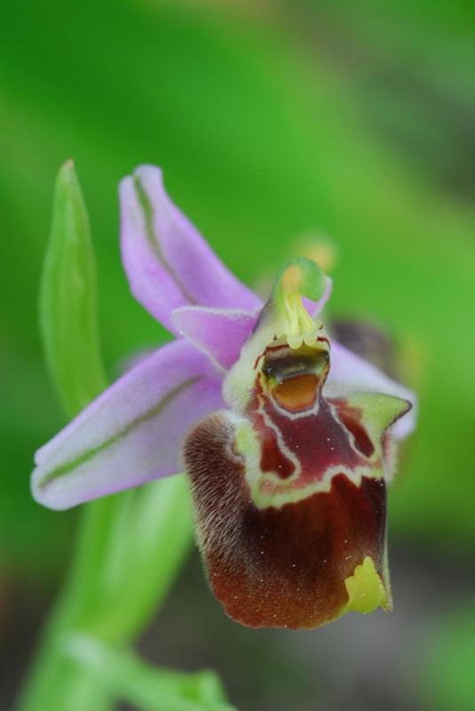 [Grèce] Ophrys de Rhodes Jlr_0610