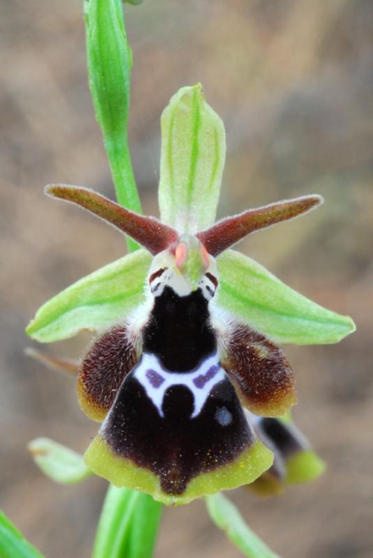 [Grèce] Ophrys de Rhodes Jlr_0710