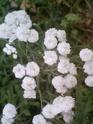 Achillea ptarmica +................Deux plantes à déterminer Fleurs10