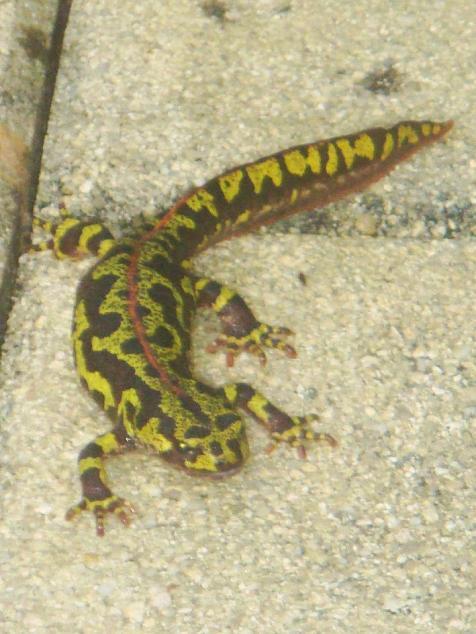 Qu'est-ce??? Une salamandre? Dsc01213