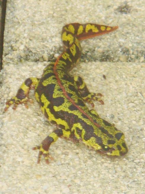 Qu'est-ce??? Une salamandre? Dsc01214