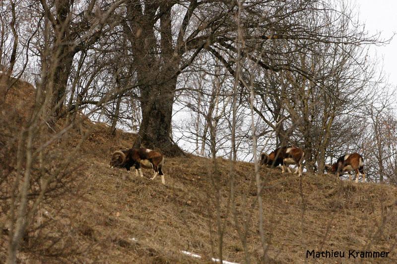 Mouflons de Belledonne - 24/01/2010 003410
