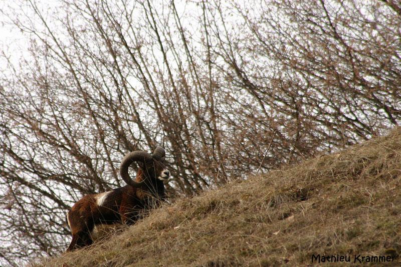 Mouflons de Belledonne - 24/01/2010 005910