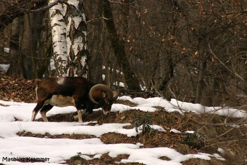 Mouflons de Belledonne - 24/01/2010 008610
