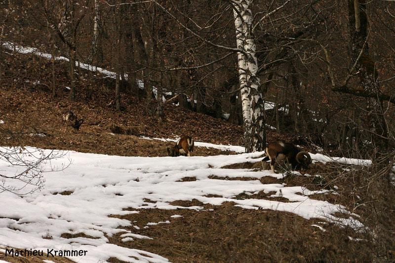 Mouflons de Belledonne - 24/01/2010 009510