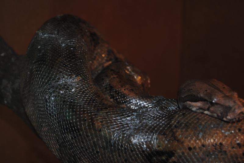 Vous donnez des rats vivants à vos serpents ... - Page 2 Bci_mi10