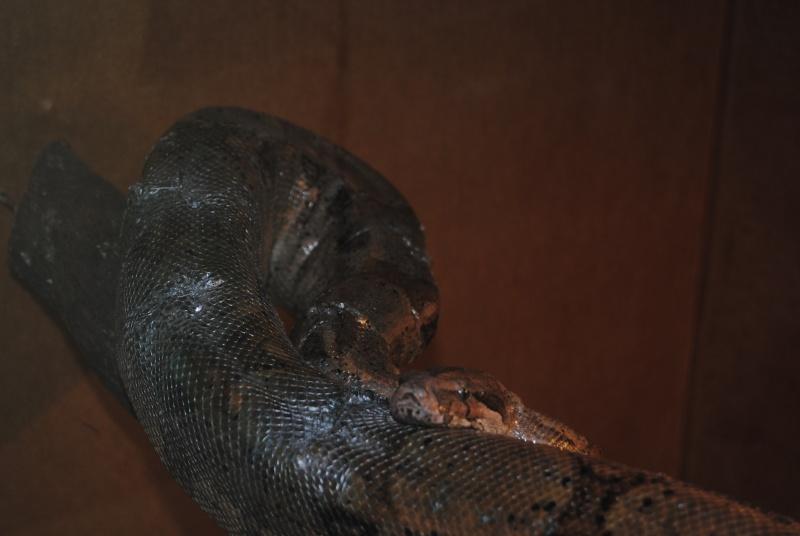 Vous donnez des rats vivants à vos serpents ... - Page 2 Bci_mi14