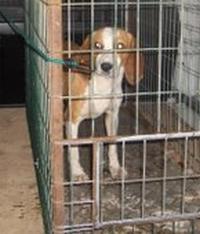DANIELA, croisée beagle femelle, 10 mois (42) Daniel10