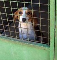 DANIELA, croisée beagle femelle, 10 mois (42) Daniel11
