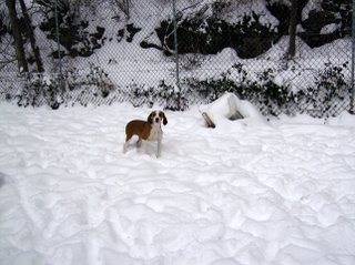 DANIELA, croisée beagle femelle, 10 mois (42) Hpim0310