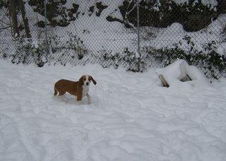 DANIELA, croisée beagle femelle, 10 mois (42) Hpim0311