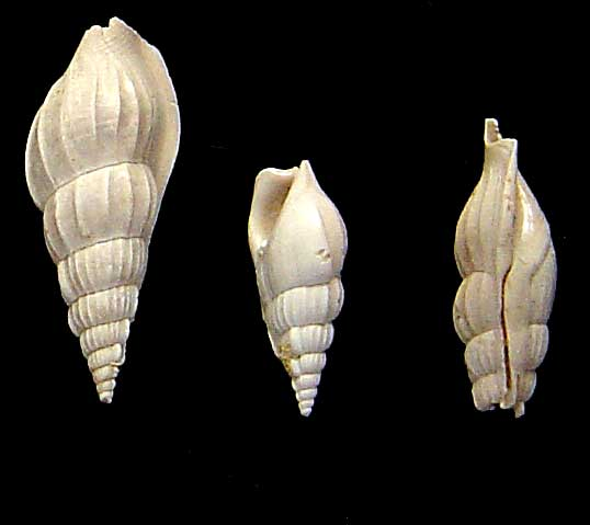 [résolu]Gastéropode Lutétien Damery n° 1 [Rimella fissurella -Linné] 110