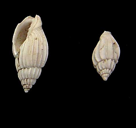 [résolu]Lyria harpula (Lamarck 1802) 310