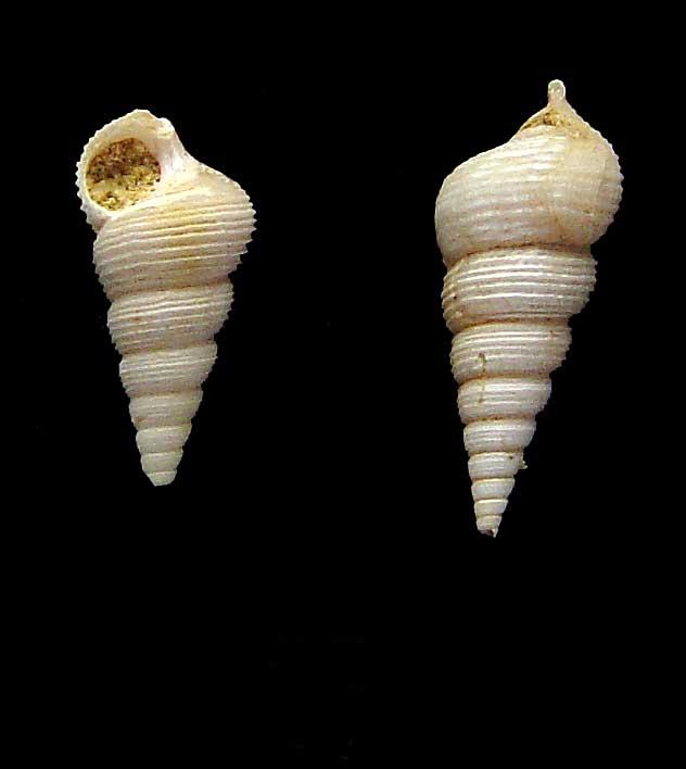 [résolu]Sigmesalia intermedia Deshayes, 1832 410
