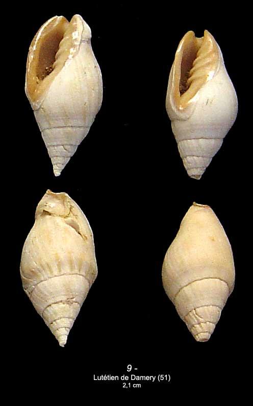 [résolu]Mitreola labratula Lamarck, 1803 910