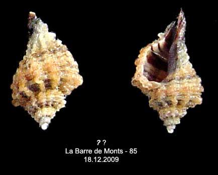 Coquilles actuelles de La Barre de Monts - 85 Inconn11