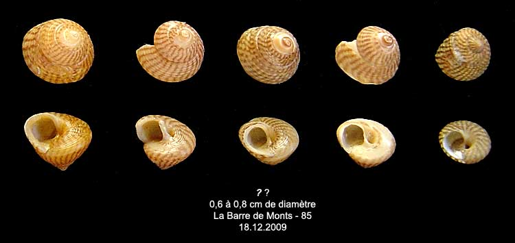 Coquilles actuelles de La Barre de Monts - 85 Inconn14