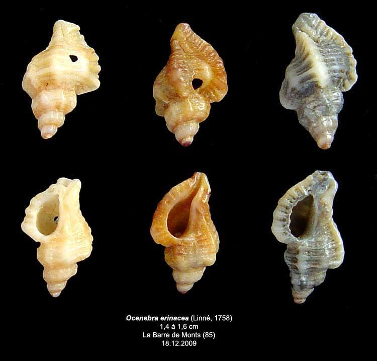Coquilles actuelles de La Barre de Monts - 85 Oceneb10