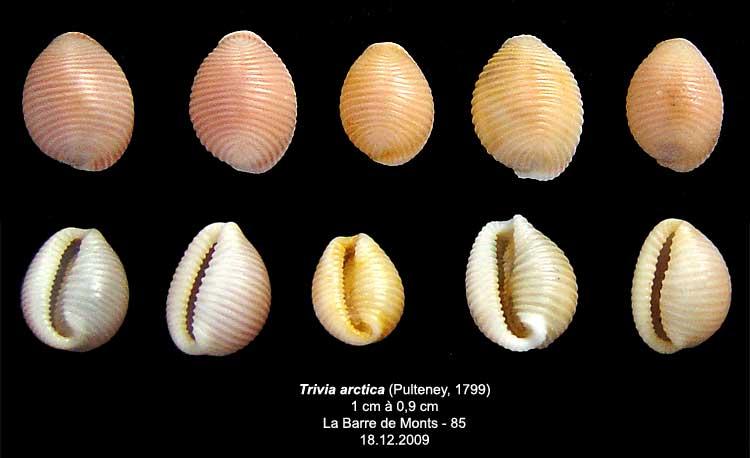 Coquilles actuelles de La Barre de Monts - 85 Trivia12