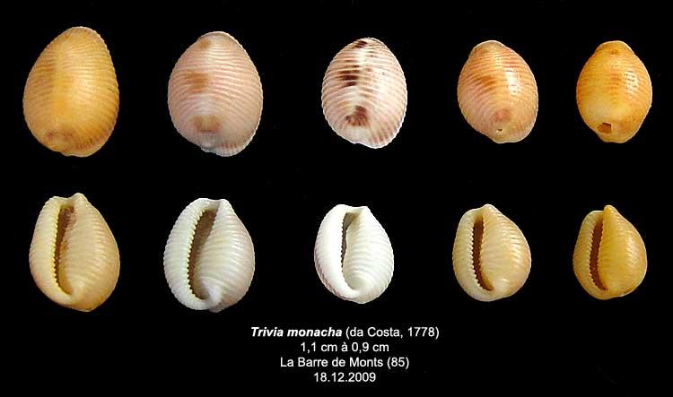 Coquilles actuelles de La Barre de Monts - 85 Trivia15