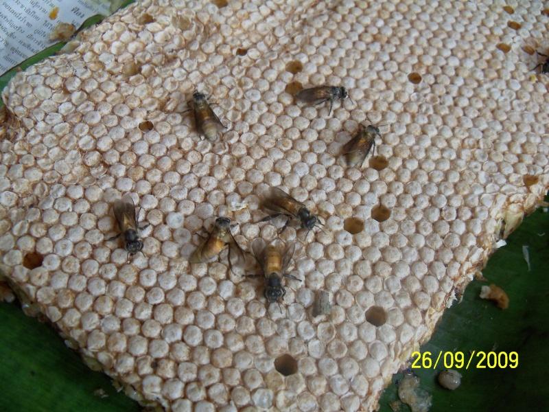 Abeilles  de  THAILANDE  2009 Photo_14