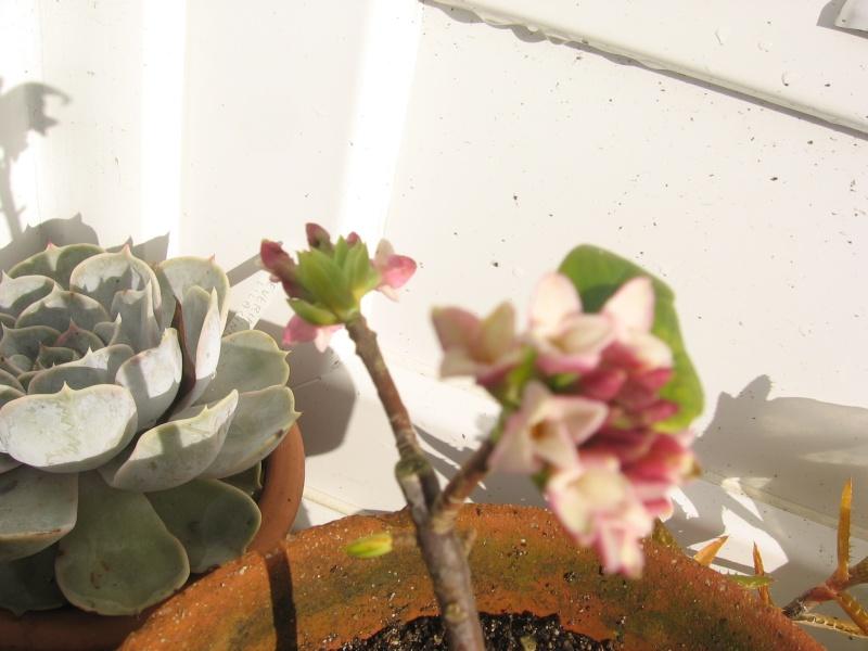 les fleurs du 1er de l'an Img_2522