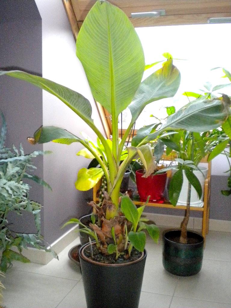 mon bananier  Dscn8215