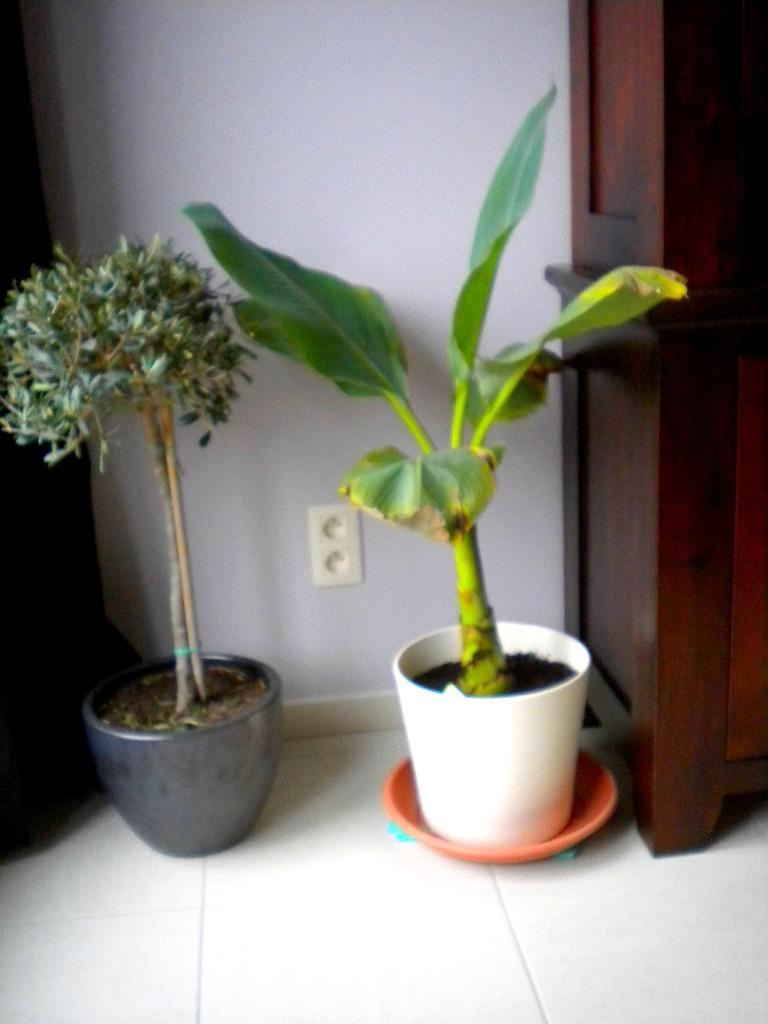 mon bananier  Dscn8216
